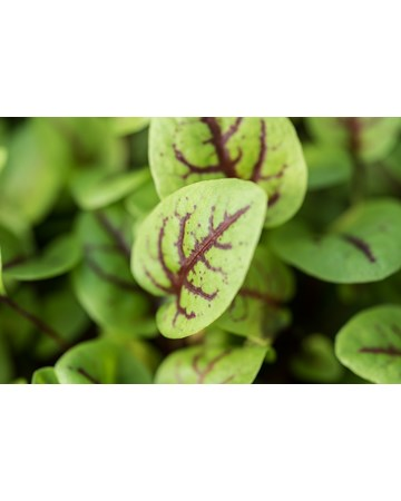 Red Ribbon Sorrel Growing