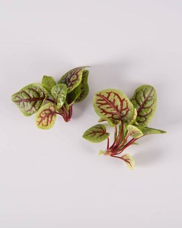 Red-Ribbon-Sorrel-Petite-Isolated