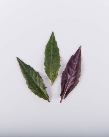 purple-spinach-leaves