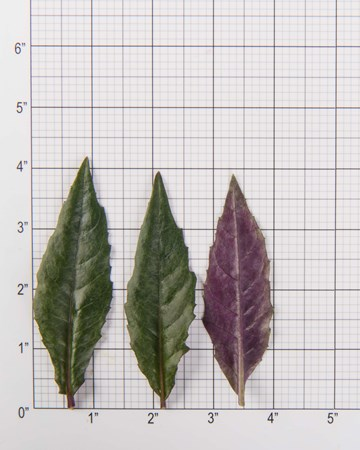 purple-spinach-leaves-size-grid