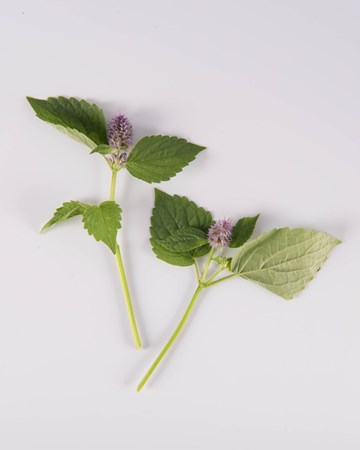 Anise Hyssop Blooms-Isolated