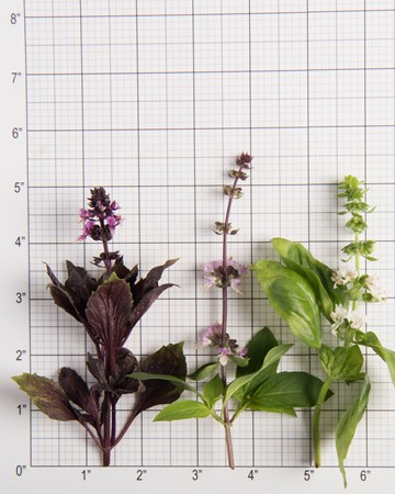 Mixed Basil Bloom Size Grid