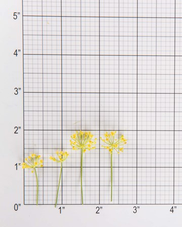 Dill Bloom Size Grid