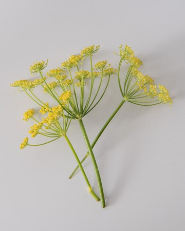 Fennel Blooms