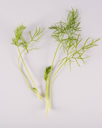 Fennel-NG Ultra-Isolated