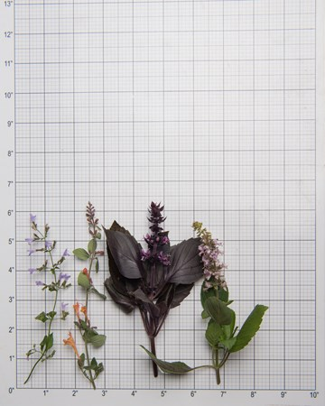 Herbs-Sampler-Flowering-Size-Grid