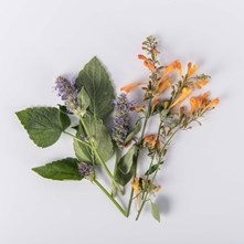 Mixed Hyssop