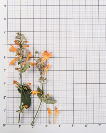 Orange Hyssop Blossom Size Grid