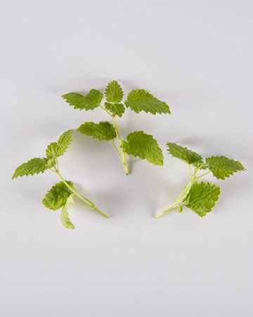 Lemon Balm-Petite-Isolated