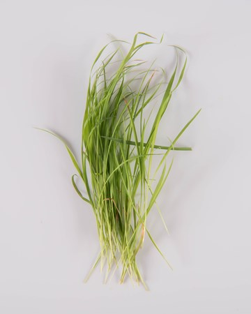 Lemon Grass-Petite-Isolated