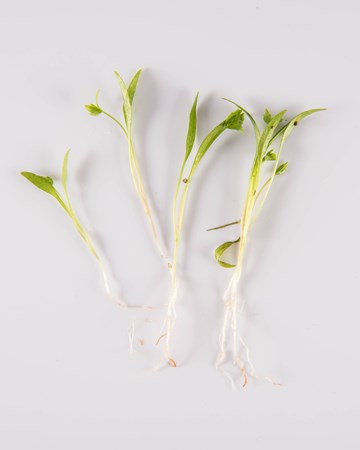 Petite Lovage with Root