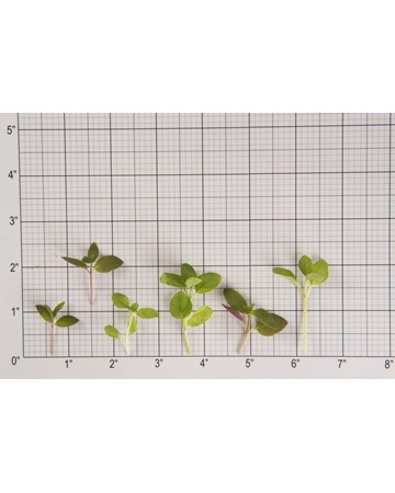 Mint-Microgreen-Mint Sampler-Size Grid