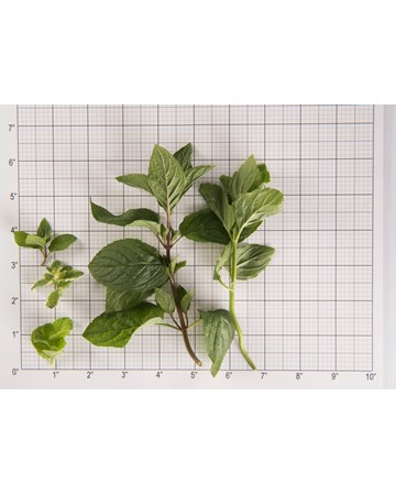 Mint-Mint Sampler-Size Grid