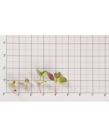 Mountain Mint-Size Grid