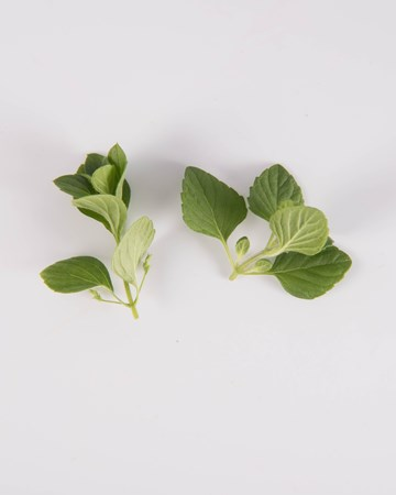 Mint-Demi-Nepitella Mint-Isolated