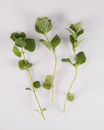 Mint-Nepitella Mint-Isolated