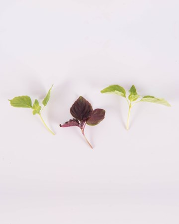 Shiso-Petite-Mixed-Isolated