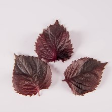 Red Leaves Shiso