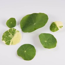 Mixed Nasturtium Leaves