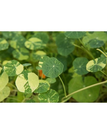 Nasturtium Leaves Growing