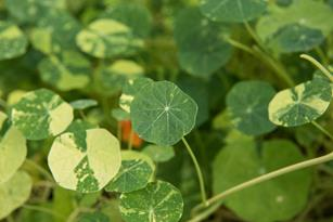 Petite Nasturtium Leaves: Zesty and Peppery  Thumbnail