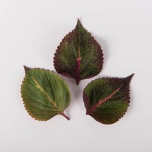 Flaming Leaves Shiso