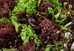 Petite Mixed Lettuce: Ideal Example of Farm to Table Vegetables Image
