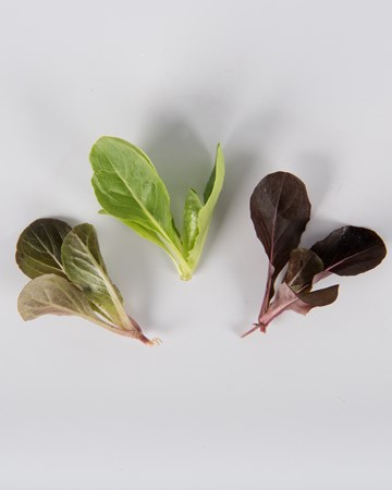 Lettuce-Romaine-Mixed-Petite-isolated