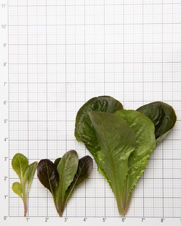 Lettuce-Romaine-Red-Size-Grid