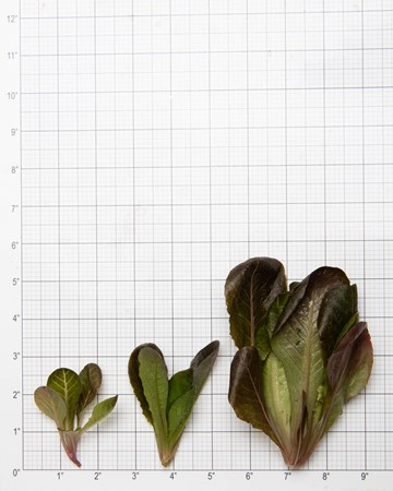 Lettuce-Romaine-Red-Rose-Size-Grid