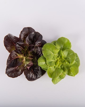 Lettuce-Rosette-Mixed-Ultra
