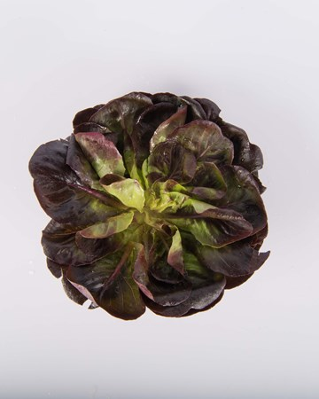 Lettuce-Red-Rosette-Baby-Isolated