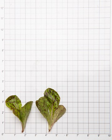 Lettuce-Speckled-Density-Ultra-Size-Grid