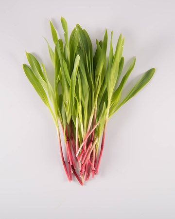 corn-shoot-microgreen-isolated