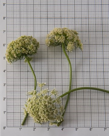 Blooms-Vegetable-Carrot-Size-Grid