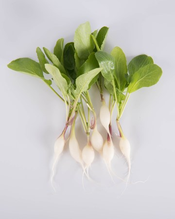 Radish-Daikon-NG Petite-Isolated