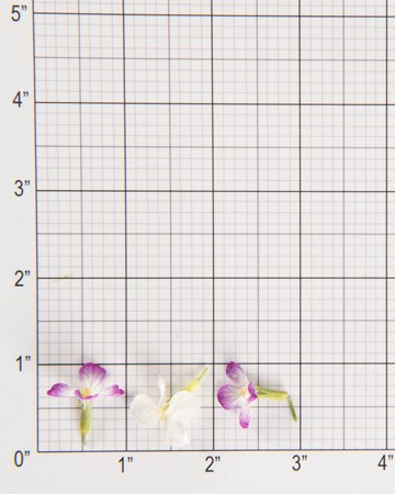 Edible Flower-Rat Tail Radish-Size Grid