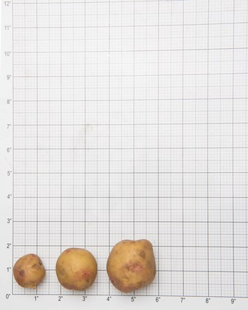 Potato-Gullauga-Grid-1-of-1