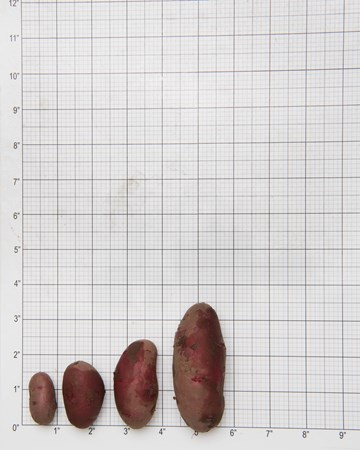 Potato-Red-Thumbl-Size-Grid-1-of-1