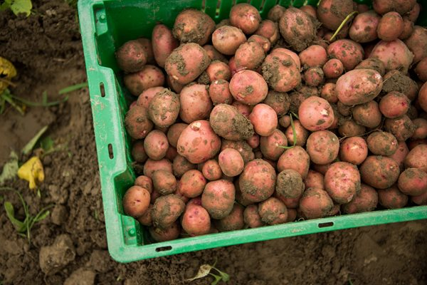 Potatoes Harvested with Soil