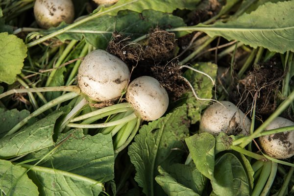 White Turnip Harvest