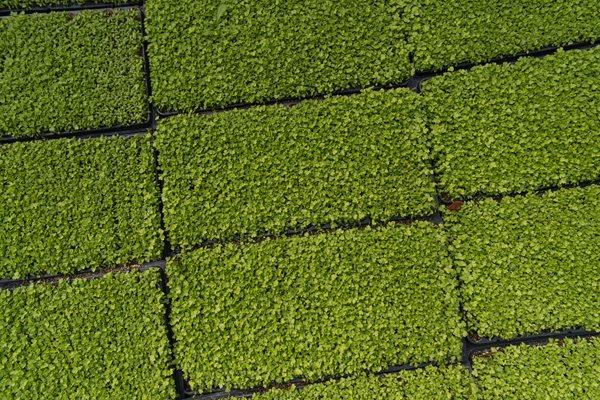 Seledri Microgreen