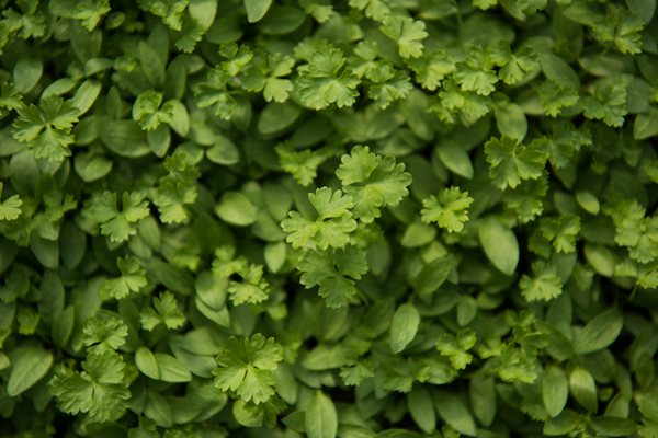 Microgreen Parsley