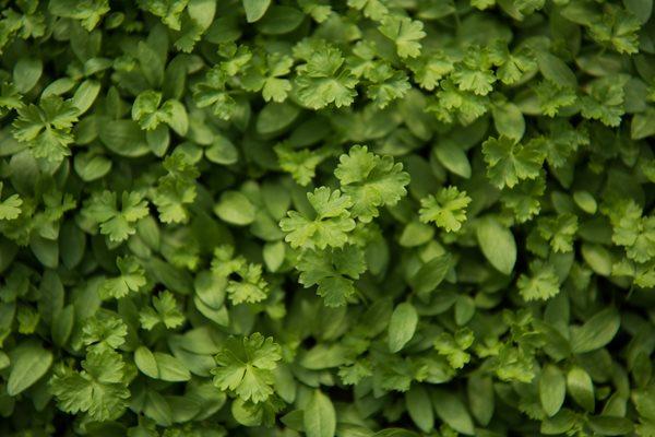 Microgreen Parsley